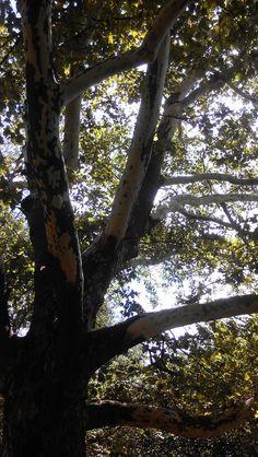 Beauty in trees #centralpark