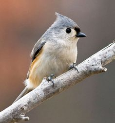 Tufted Titmouse - they are just too adorable for words!