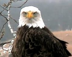 The Decorah Eagle Cam