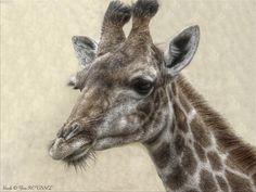Girafe © Yves ROUSSEL