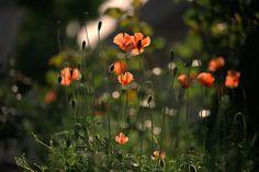 Poppy by Aki