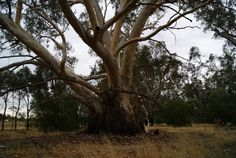 One most magnificent very,very old Murray river red gum tree ...