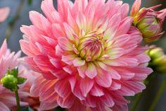 4 curiosidades sobre plantas que no sabias - Dalias