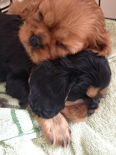 Cute Ruby and Black & Tan Cavalier King Charles Spaniel puppies snuggling