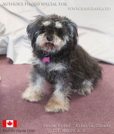 Miniature Schnauzer, Alberta Canada, Dog Photos, Projects For Kids, Miniatures, Peace, River, Photo And Video, Dogs