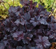 Obsidian Heuchera: One of the great horticultural success stories of the last generation, Heucheras have metamorphosed from an obscure genus of North American wildflowers to garden stars available in a seemingly endless array of cultivars. 'Obsidian' is a perfect illustration of why these perennials are finding such popularity.