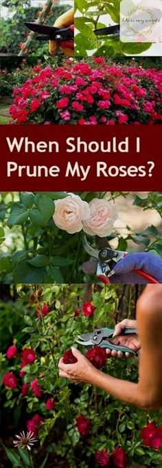 When Should I Prune My Roses? Pruning Roses, How to Prune Your Roses, Garden, Gardening Tips and Tricks, Gardening 101, Gardening Hacks, Rose Pruning Tips and Tricks, Flowers, Flower Growing Tips, Popular Gardening Tips #GardeningTips