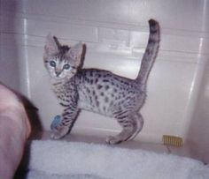 egyptian mau kittens for sale | Egyptian Mau Cool Bronze Male Kitten for sale in Toronto, Ontario ...