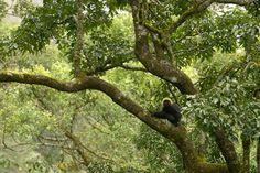 PRIMATES Los primates aparecieron hace aproximadamente 65 millones de años. Vivían en los árboles y dormían en las ramas por miedo los predadores que se desplazaban por el suelo. La manera de desplazarse de los primates está relacionada con su forma de buscar alimento: eran cuadrúpedos y también saltaban de árbol en árbol para buscar alimento. Se alimentaban especialmente de frutas, pero también de insectos y hojas.