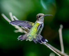 daniel adams photos hummingbird - Google Search