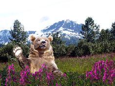 Waving bear in Alaskan field with a modified landscape. Kate Hubbard Photos c. 2015