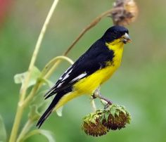 Lesser Goldfinch male, Carduelis psaltria; Gary Kinard