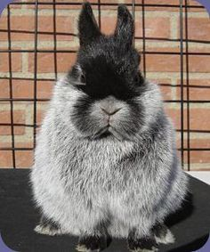 Champagne Netherland Dwarf Rabbit, what a face.