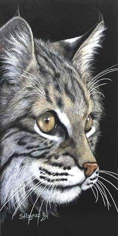 "Beautiful cat - Wild by Sandra Haynes Scratchboard ~ 12"" x 6"""