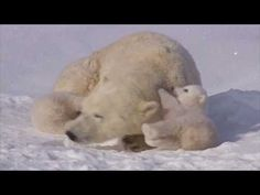 Two adorable newborn polar bear cubs play with their mother while they journey to the frozen sea. One cute cub climbs and hangs off mother's back. Baby Bear Cub, Bear Cubs, Baby Animals, Funny Animals, Cute Animals, Most Beautiful Animals, Beautiful Creatures, Cute Polar Bear, Polar Bears