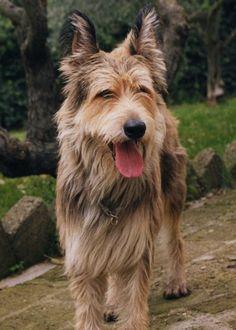 Berger Picard / Berger de Picardie / Picardy Shepherd Dog