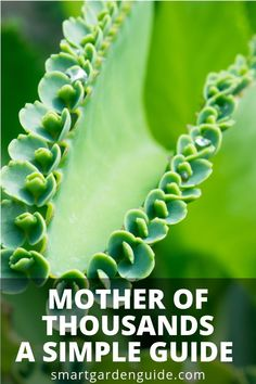 How To Care For Mother Of Thousands. Also called Mexican Hat Plant Or Alligator Plant. This Amazing Houseplant Is Easy To Care For And Fascinating To Watch As It Produces Loads Of Mini Plantlets. Cacti And Succulents, Planting Succulents, Garden Plants, Indoor Plants, House Plants, Planting Flowers, Garden Beds, Indoor Garden, Cactus
