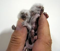 Pygmy Marmosets: One of Earths Tiny little Creatures