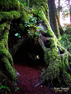 FAIRY DWELLING - Photography by Susan Tooker of Spinning Castle. Enter these enchanted woods if you dare for this is a place of the Fae Folk. An old growth Sitka Spruce and it's hollowed out roots, large enough to stand inside, looks like a fairy dwelling. Simply magical. This photo was taken at Oswald State Park where the beach is nestled in a cove surrounded by giant trees that stand guardian over the Pacific Ocean.