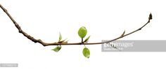 View top-quality stock photos of Young Leaves. Find premium, high-resolution stock photography at Getty Images. Royalty Free Images, Plant Leaves, Stock Photos, Branches, Plants, Photography, Photograph, Fotografie, Photoshoot