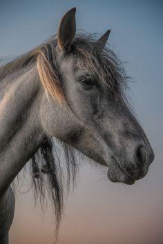 Wild Konik horse in a herd in the Netherlands by Henri Ton