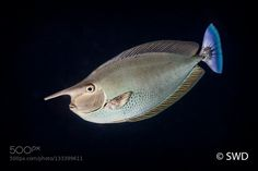 Spotted Unicornfish by swdirector #underwater #500px