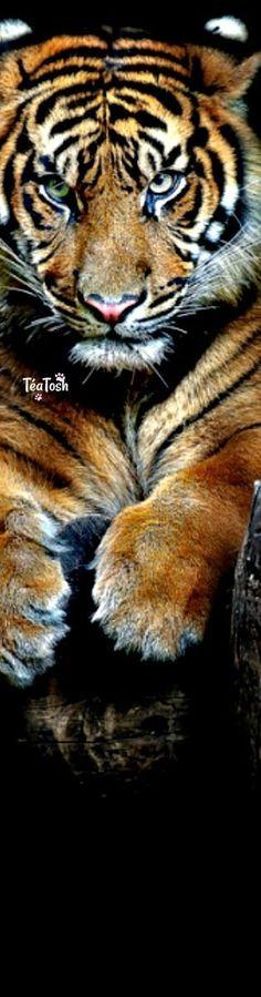 Téa Tosh Tiger