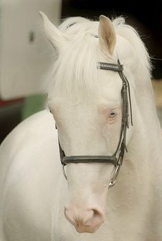 Cremello Warmblood Stallion - McJonnas