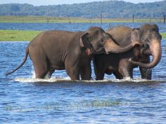 Asian elephants frolic in Kaudulla Wewa at Kaudulla National Park in central Sri Lanka. Large Animals, Cute Animals, My Big Love, Biologist, Endangered Species, Ecology, Sri Lanka, Animal Kingdom, Animals