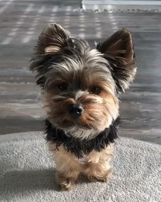 My morning neck stretches yorkshire terrier - Dogs Yorkie Dogs, Yorkies, Cute Dogs And Puppies, Baby Dogs, Small Puppies, Baby Yorkie, Morkie Puppies, Yorkie Puppy For Sale, Puppies For Sale