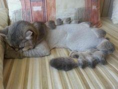 Cats with original haircuts (14 pics) - Funtomato
