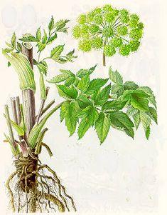 Angelica archangelica subsp. archangelica