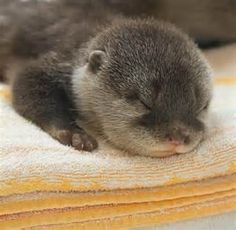 More Baby Otters! baby-otter – Baby Animal Zoo