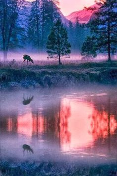 Elk drinking on lake, Yosemite National Park, California, United States.