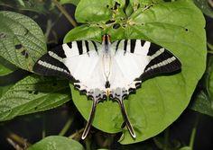 Butterflies of India - Five-barred swordtail (Graphium antiphates)