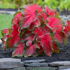 Caladium Dragon Heart. A compact, shade-loving caladium with scarlet red foliage. Dragon Heart thrives in heat and humidity and provides months of carefree color for gardens and landscapes.
