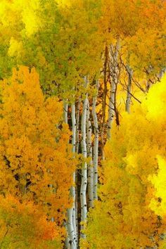 Aspen Tree Autumn, Crested Butte, Colorado photo via besttravelphotos Foto Picture, Crested Butte Colorado, Aspen Trees, Birch Trees, Birch Forest, Birch Bark, Tree Forest, Palm Trees, All Nature