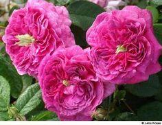 'Duc de Guiche' (1810) - syn. 'Senat Romain - AGM 1993. Gallica. Zomerbloei. Komvormige, paars-lila, dubbele bloemen (8cm), met een   groene punt in het hart . Aangename zoete  geur. 150 cm x 120cm.