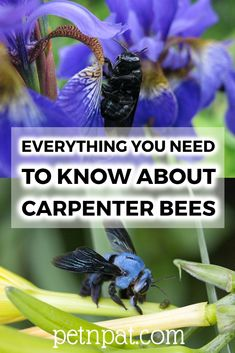 A basic introduction to carpenter bees. And interesting facts about carpenter bees! Animals For Kids, Animals And Pets, Funny Animals, Farm Animals, Animal Quotes, Animal Memes, Animal Nutrition, Pet Nutrition, Carpenter Bee
