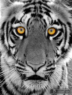 """""""Eye of the Tiger"""" by Arvind R :)"""