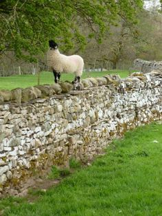 In a Perfect World. Sheep Farm, Sheep And Lamb, Farm Animals, Animals And Pets, Cute Animals, Yorkshire, Counting Sheep, Wale, Farm Yard