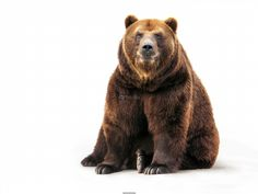 Poster of Bear, Animals Posters, #poster, #printmeposter, #mousepad, #tshirt