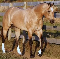 I have a dun mare that is a little darker than this horse. Horses And Dogs, Cute Horses, Horse Love, Wild Horses, Beautiful Horse Pictures, Most Beautiful Animals, Beautiful Horses, American Quarter Horse, Quarter Horses