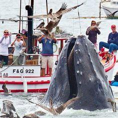 Amazing Humpback Whales   Avila Beach, CA