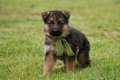 german shepherd puppies cute   Zoe Fans Blog
