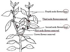 how to prune cayenne pepper plants
