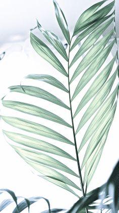 #areca #palms