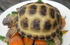 KING of the vegetable mountain! One members pet, William, the rescued Horsefield tortoise! Horsefield Tortoise, Tortoise Habitat, Russian Tortoise Care, Kawaii Turtle, Cute Turtles, Tortoises, Funny Minion, Reptiles, Awkward