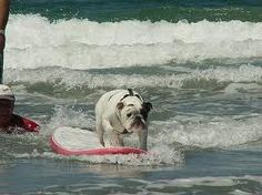Surfing bulldog :)