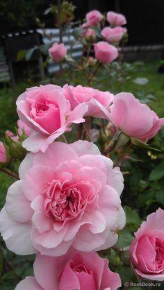 Floribunda Rose 'Bonica', Meilland, 1985